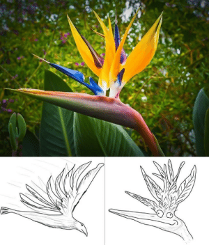 Today I learned: This plant is called the Bird of Paradise because it looks like the picture on the left, not the one on the right.: Today I learned: This plant is called the Bird of Paradise because it looks like the picture on the left, not the one on the right.
