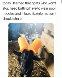 Head, Memes, and Information: today Ilearned that goats who won't  stop head butting have to wear pool  noodles and it feels like information l  should share Stuff you should know 😂