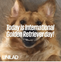 Happy international golden retriever day! Here's why we absolutely adore them 😍🐶: Today is International  Golden Retrieverday  UNILAD Happy international golden retriever day! Here's why we absolutely adore them 😍🐶