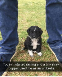 Tiny boye: Today it started raining and a tiny stray  pupper used me as an umbrella Tiny boye