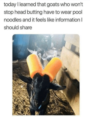 Head, Good, and Information: today l learned that goats who won't  stop head butting have to wear pool  noodles and it feels like information l  should share Isnt that good to know?