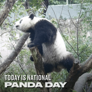 Dank, Panda, and Animal: TODAY S NATIONAL  PANDA DAY It's National Panda Day today. Here's to the silliest bunch in the animal kingdom... 🐼