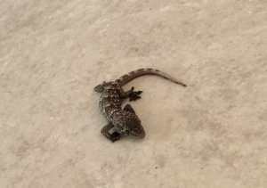 Cute, Today, and Baby: Today we were visited by this cute baby lizard! So smoll!