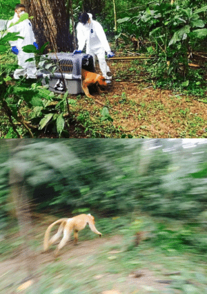 todaysbird:  proboscismonkey:  A proboscis monkey being released into the wild after being fitted with a satellite collar.   : todaysbird:  proboscismonkey:  A proboscis monkey being released into the wild after being fitted with a satellite collar.