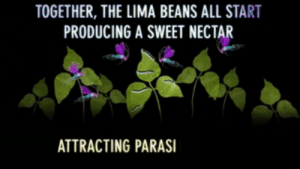 funjolraas:  sixpenceee:  These gifs show a really scary process in nature! Damn!  Lima beans lowkey lit : TOGETHER, THE LIMA BEANS ALL START  PRODUCING A SWEET NECTAR  ATTRACTING PARASI funjolraas:  sixpenceee:  These gifs show a really scary process in nature! Damn!  Lima beans lowkey lit