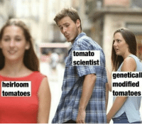 PSAT: tomato  scientist  heirloom  tomatoes  geneticall  modified  tomatoes PSAT