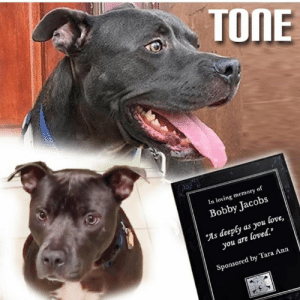 """Dogs, Family, and Future: TONE  In loving memory of  Bobby Jacobs  """"As deeply as you love,  you are loved.  Sponsored by Tara Ann KENNEL SPONSORED BY:  Tara Ann  In Loving Memory of Bobby Jacobs """" As deeply as you love, you are loved """". TONE NEEDS A HERO! ❤️ADOPT TONE- Tone is a great dog! He is eager to please, listens to direction and is ready for his furever too! Tone  knows basic commands. He needs to be an only dog in the household. Loves to cuddle and loves long walks. Are you his HERO? ❤️ Apply at WWW.NYBULLYCREW.ORG ❤️ If you would like to adopt, please submit an application today or watch the full video, please visit www.nybullycrew.org > NEWS ......... REMEMBER TONE from NEWARK? 🔴July, 2017, we posted a plea for an emergency foster so we could pull him from the Newark, NJ shelter. He was very ill with pneumonia and he wasn't doing well. Kendell, a NYBC supporter made us aware of Tone and assisted with finding a foster. Mary, Tone's foster mom, who now calls him Sam, has nursed him back to health and is giving him a stable home environment to flourish in. Sam is now ready to meet his future. Could that be you? NYBC has been trying to strengthen our foster program so we could help more dogs in need. The Long Island facility is at capacity and foster homes make it possible to save lives. It allows a dog to decompress, get healthy, get used to a home setting before finding the appropriate fur-ever family. We know that at times the heartache of losing your foster pet to an adoption is immense, but by selflessly becoming a foster, you have played the most important role in that dog's life.  #fosteringsaveslives #teamworksaveslives #nybcfosters #tonenybc #adoptdontshop"""