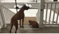 Tony Baker as the Boxer Dog king training his young heir to the throne. TonyBakerVoiceovers. Original video by @orzotheboxer.: TONY BAKER COMEDY Tony Baker as the Boxer Dog king training his young heir to the throne. TonyBakerVoiceovers. Original video by @orzotheboxer.