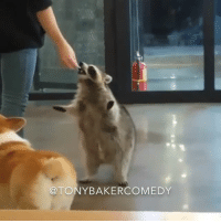 CoCo, Memes, and Raccoon: TONY BAKERCOMEDY Tony Baker as CoCo the raccoon out here entertaining people to make ends meet. TonyBakerVoiceovers @cocotheraccoon