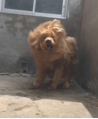 Memes, 🤖, and Fabulous: Too fabulous to care Follow @barked tibetianmastiff