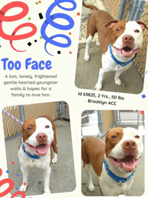"Apparently, Children, and Click: Too Face  A lost, lonely, frightened  gentle hearted youngster  waits & hopes for a  Id 63825, 2 Yrs., 50 lbs.  family to love him  Brooklyn ACC TO BE KILLED 6/11/19  Smiles For Miles ~ This young pup is always fully dressed with a BIG SMILE for everyone who greets him! :)   TOO FACE was brought in by the police of the 71st precinct as a stray. He is just a youngster, thought to be barely 2 years old, and he is so scared after his ordeal, and at being in a small kennel in the shelter surrounded by strangers, that he is having a hard time adjusting. At first he will growl at you when you approach his cage, but if you give him time and come back and talk sweet to him you will see he gets better. He just needs patience, understanding and kindness. Sadly, we have no notes at this time, just a video that is heartbreaking as he gives a 2nd chance to a volunteer/staff member. Watch it here: https://www.facebook.com/groups/1423139431324368/  Please share him widely, or if you can give him placement, MESSAGE our page or email us at MustLoveDogsNYC@gmail.com for assistance fostering or adopting this poor scared boy.   MY MOVIES: Too Face <3  https://youtu.be/HcKg61y_3Ro Too Face walks ~  https://youtu.be/9CI8v8ST-2g Dutchess & Too Face ~ Tag You're It!! https://youtu.be/aPaidhOz9Hk  TOO FACE, ID# 63825, 2 yrs old, 50 lbs, Unaltered Male Brooklyn ACC, Large Mixed Breed, Brown / White  I came to the shelter as an Agency, 5/24/2019 Shelter Assessment Rating: NEW HOPE ONLY No children (under 13) Medical Behavior Rating: 4. Orange  BEHAVIOR NOTES   Means of surrender (length of time in previous home): Stray, no known history  SAFER ASSESSMENT NOTES:  Behavior Summary: During his time in the behavior room, Too face was allowed to wander with a drag leash placed. He remained tense and wary of handlers, avoiding and moving away while panting heavily. Too face approached one handler and sat by her, appearing to lean in, however when handler made direct contact Too face froze, whale eyed and head flipped with an open mouth. While still seeming uncomforable overall, Too Face remained near this first handler the majority of the time (panting heavily); when second handler turned chair around to get up, Too face low growled and was unable to readily settle. Too face continued to low growl at the second handler until first handler attempted to refocus him at which he startled and moved away. When second handler turned chair back around, Too face low growled again and began baring teeth; he was slowly placed back into his kennel by first handler. Out of concern for his overall stress level and handler safety, an assessment was not attempted on Too face.   PLAYGROUP NOTES - DOG TO DOG SUMMARIES: Two-Face was surrendered as a stray so his past behavior with other dogs is unknown.  5/26: When off leash at the Care Center, Two-Face is introduced to a novel female dog. He is initially nervous as he explored the pens, but when he sees the female he becomes sexually motivated and places his chin over her back, but does not attempt to mount her. He walks away and explores the play yard.  5/28: Two-Face is introduced to a novel female that offers him a play bow and bounces. He reciprocates with spins and start-stops. He engages in a brief bout of play then takes an appropriate break.   5/29-30: Too Face's behavior remains the same with a known female.  6/2: Too Face was introduced to a novel female today. He is persistent with his genital licks. The female offers him a play bow and bounce and he reciprocates. Too Face then engages in cooperative play.   INTAKE BEHAVIOR: Date of intake: 24-May-2019 Summary: Shy though allowed some handling  MEDICAL BEHAVIOR: Date of initial: 24-May-2019 Summary: Tense, whale eyed, low growling initially; escalating to lunging and growling upon examination  ENERGY LEVEL: Too face displays a low energy level in the care center.   BEHAVIOR DETERMINATION:New Hope Only Behavior Asilomar TM - Treatable-Manageable  Recommendations:  No children (under 13) Place with a New Hope partner  Recommendations comments:  No children (under 13): Due to Too face's overall level of fear, we feel he would be best set up to succeed in an adult only home environment at this time.  Place with a New Hope partner: Too face remains highly uncomfortable in the care center and very wary of most handlers, he has escalated quickly to growling and baring teeth and does not appear to readily recover when startled. Too face also appears uncomfortable with most forms of direct contact, he has been observed to freeze and whale eye handlers. Due to the level of fearful behavior observed combined with his rapid escalation to higher level warnings, we feel Too face would be best set up to succeed if placed with an experienced rescue partner who can assess his behavior in a stable home environment. Force-free, reward based training only is advised when introducing Too face to new and unfamiliar situations; guidance from a professional trainer or behaviorist is advised.   Potential challenges:  Handling/touch sensitivity Fearful/potential for defensive aggression  Potential challenges comments:  Too face has growled, lip curled and bared teeth at handlers in the care center upon approach; he has also been observed to freeze and whale eye upon soft direct contact. Please see handout on Fearful and Potential for Defensive Aggression as well as Handling Sensitivity.  MEDICAL EXAM NOTES   24-May-2019  DVM Intake Exam Estimated age: Approx 2 years Microchip noted on Intake? Negative, placed at intake History : Stray Subjective: BARH, tense and whale eyed, initially allows petting and allows handler to lift lip. Low growl so soft muzzle placed. Escalates to lunging and growling during exam and medical treatments. Evidence of Cruelty seen - none Evidence of Trauma seen - none Objective  P = wnl R = wnl BCS = 5/9 EENT: Eyes clear, ears clean, no nasal or ocular discharge noted Oral Exam: Scant tartar PLN: No enlargements noted H/L: NSR, NMA, Lungs clear, eupnic ABD: Non painful, no masses palpated U/G: Male, two scrotal testicles MSI: Ambulatory x 4, skin free of parasites, no masses noted, healthy hair coat CNS: Mentation appropriate - no signs of neurologic abnormalities Rectal: Externally normal Assessment: Apparently healthy Prognosis: Good Plan: Behavioral assessment SURGERY: Okay for surgery   *** TO FOSTER OR ADOPT ***  HOW TO RESERVE A ""TO BE KILLED"" DOG ONLINE (only for those who can get to the shelter IN PERSON to complete the adoption process, and only for the dogs on the list NOT marked New Hope Rescue Only). Follow our Step by Step directions below!   *PLEASE NOTE – YOU MUST USE A PC OR TABLET – PHONE RESERVES WILL NOT WORK! **   STEP 1: CLICK ON THIS RESERVE LINK: https://newhope.shelterbuddy.com/Animal/List  Step 2: Go to the red menu button on the top right corner, click register and fill in your info.   Step 3: Go to your email and verify account  \ Step 4: Go back to the website, click the menu button and view available dogs   Step 5: Scroll to the animal you are interested and click reserve   STEP 6 ( MOST IMPORTANT STEP ): GO TO THE MENU AGAIN AND VIEW YOUR CART. THE ANIMAL SHOULD NOW BE IN YOUR CART!  Step 7: Fill in your credit card info and complete transaction   HOW TO FOSTER OR ADOPT IF YOU *CANNOT* GET TO THE SHELTER IN PERSON, OR IF THE DOG IS NEW HOPE RESCUE ONLY!   You must live within 3 – 4 hours of NY, NJ, PA, CT, RI, DE, MD, MA, NH, VT, ME or Norther VA.   Please PM our page for assistance. You will need to fill out applications with a New Hope Rescue Partner to foster or adopt a dog on the To Be Killed list, including those labelled Rescue Only. Hurry please, time is short, and the Rescues need time to process the applications."