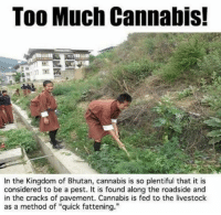 "Memes, Bhutan, and 🤖: Too Much Cannabis!  In the Kingdom of Bhutan, cannabis is so plentiful that it is  considered to be a pest. It is found along the roadside and  in the cracks of pavement. Cannabis is fed to the livestock  as a method of ""quick fattening."""