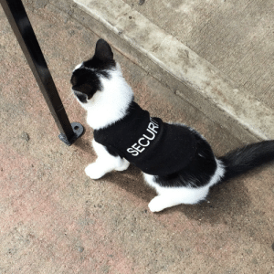 Dude, Target, and Tumblr: tormoody: disgustinganimals:  balltillifall: Attention: the bodega cat near our house is now wearing a T-shirt that says security. congarts on the job dude  securikitty