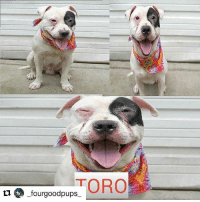 """Click, Dogs, and Friends: TORO  _fourgoodpups Repost @dixie812) """"edges"""": [{""""node"""": {""""text"""": """"HE'S A PERFECT DOG❤ Repost @_fourgoodpups_ (@get_repost) ・・・ Repost @erindogovich TORO - A1120332 - Manhattan - Publicly Adoptable TO BE DESTROYED 08-04-17 **ON PUBLIC LIST** A volunteer writes:Toro means 'bull' in Spanish, but there is no resemblance to a bull here, unless you can find a bull who loves to hug, drape himself in your lap for kisses, walks on leash with a fun bouncy step, and seems to be housetrained. In fact, several people stopped me on our walk to ask if his name was Petey (from The Little Rascals, remember?). Toro looks up at everyone we pass on our walk, tail wagging in greeting, and politely met everyone who wanted to meet him. Being tethered for photos was not his thing, so good photos as of this writing were not happening. But, introduce him to a staff person, and more hugs and tail wags made his morning. Who needs good pictures when you have a super friendly personality? Toro's happy place is draped in a lap or giving stand up hugs, so if you're a cuddler, too, Toro would love to meet you for a lifetime of love and snuggling. Don't let those hugs go to waste, come meet him today. Another volunteer writes: Some of the things dogs learn at ACC: 1) People with leashes are our friends, 2) If I sit still and let the person with a camera take a good picture I get a treat! We have such smart dogs!!! Toro quickly figured out a treat held next to a black thing means a treat is coming, so he poses like a pro now wearing a big smile and twinkling eyes. Our vet has confirmed that he's hearing impaired, so our smart little bull is ready to learn some hand signals to make him the best companion he can be. He's attentive, smart and treat motivated, and it doesn't get better than that. Throw in a ton of hugs because that's what he likes best, and you and he have got it made. CLICK HERE FOR ADDITIONAL INFO-PHOTOS-VIDEOS & STATUS: http:-nycdogs.urgentpodr.org-toro-a112"""