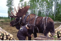 Horses, Tumblr, and Ice Age: totallynotagentphilcoulson: sturmtruppen:  ellis-dee:  This guy raised an abandoned moose calf with his Horses, and believe it or not, he has trained it for lumber removal and other hauling tasks. Given the 2,000 pounds of robust muscle, and the splayed, grippy hooves, he claims it is the best work animal he has. He says the secret to keeping the moose around is a sweet salt lick, although, during the rut he disappears for a couple of weeks, but always comes home…. Impressive !! MINNESOTA CLYDESDALE  why are moose so terrifyingly large  Because they're pretty much legit surviving Ice Age megafauna and almost everything was bigger back then