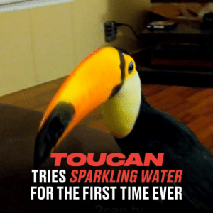 This toucan tried sparkling water for the first time. It's not quite for everyone... 😂😖  2can.tv - Ripley & Toupac the Toucans: TOUCAN  TRIES SPARKLING WATER  FOR THE FIRST TIME EVER This toucan tried sparkling water for the first time. It's not quite for everyone... 😂😖  2can.tv - Ripley & Toupac the Toucans