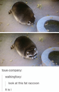 JUST LOOK AT IT!  Follow us on Instagram! ----> http://www.Instagram.com/EpicLOLcom: toue-Company:  walking foxy:  look at this fat raccoon  It is i JUST LOOK AT IT!  Follow us on Instagram! ----> http://www.Instagram.com/EpicLOLcom