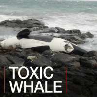 Animals, Killer Whales, and Memes: TOXIC  WHALE 3 MAY: Lulu the killer whale was found dead on a beach in Scotland. Tests reveal she had high levels of the man-made chemical PHB in her system, which scientists say make her one of the most contaminated animals on the planet. Lulu was part of the UK's last pod of killer whales, which now numbers only eight. PHBs were used in most things from plastic to electrical goods and cement. Even though they were banned in the 1970s they are hard to break down and remain in landfill sites, which leach into the sea. Scientists think we'll see the impact of this toxic legacy for decades to come. More here: bbc.in-toxicwhale KillerWhale KillerWhales Orca Orcas Pollution Animals Wildlife Sea Environment Conservation Scotland BBCShorts BBCNews @bbcnews