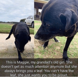 Girl, Old, and Proud: tr  This is Maggie, my grandad's old girl. She  doesn't get as much attention anymore but she  always brings you a leaf. You can't have the  leaf, she just wants vou to be proud. ily maggie