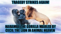 Harambe Gorilla: TRAGEDY STRIKESAGAIN!  HARAMBE THE GORILLA MAULED BY  CECIL THE LION INANIMAL HEAVEN