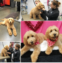 #TrainingTuesday Yesterday, two of our Service Dogs in Training got all dolled up just in time for Valentine's Day!❤️🐾 Our Service Dog Intern Trainers and wonderful friends at Dog Gone Pretty turned Jenny and Aspen's grooming experience into not only a fun time but also a great training opportunity!  Getting groomed is a lot of socialization in itself🛁 They learn to be calm and stay still even with the loud blow dryer and grooming clippers moving around them.  By having familiar faces of their trainers around, our little pups in training did a great job of working through it!🐾  #PatriotPAWS #ServiceDogs 🐶❤️🇺🇸: #TrainingTuesday Yesterday, two of our Service Dogs in Training got all dolled up just in time for Valentine's Day!❤️🐾 Our Service Dog Intern Trainers and wonderful friends at Dog Gone Pretty turned Jenny and Aspen's grooming experience into not only a fun time but also a great training opportunity!  Getting groomed is a lot of socialization in itself🛁 They learn to be calm and stay still even with the loud blow dryer and grooming clippers moving around them.  By having familiar faces of their trainers around, our little pups in training did a great job of working through it!🐾  #PatriotPAWS #ServiceDogs 🐶❤️🇺🇸