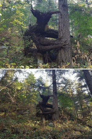 Tree trying to pull its rival off the ground https://t.co/6aXbsUAUsS: Tree trying to pull its rival off the ground https://t.co/6aXbsUAUsS