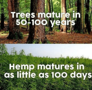 "phantom-solitaire: fenrislorsrai:  magickandmoss:  temporarilypermanenturl:  benwinstagram:  kanyolo:  nuggetfucker98:  legalizeact:  #SaveTheTrees  I feel like an important message is trying to be communicated to me but I have no idea what it is  Our forests are being cut down 3x faster than they can grow! One acre of hemp produces as much cellulose fiber pulp as 4.1 acres of trees!!! This is super useful for so many things, especially paper production! In addition, hemp takes in carbon dioxide 4x as fast as trees do, which makes it especially valuable in the act of reducing CO2 emissions/greenhouse gases! 🌲🌲🌲 source   #the scope of the anti-hemp conspiracy in the united states is terrifying once you start doing research tbh#like it was initially smeared/banned bc lumber lobbyists pushed for it to be…#and a major smear tactic was to associate it with black people#who now a hundred years later are the ones primarily being imprisoned for it#and the plant itself has now been inextricably linked to the drug so people won't even allow for it to be grown for commercial purposes#like paper making (via literallyfuckeveryone)  Important reminder that industrial hemp can't be used as a recreational drug, so if anyone tries to pull that card you can just stop them then and there. There are no real arguments against using industrial hemp, even if you're rigidly against the legalization of any recreational drugs.  AYYYYYYYYYYYYYYYYY I never see pro-hemp on my dash, woo!  Usually the argument on why you can't have hemp is because then people will hide marijuana in it. yeah, sure…. if they want shitty, shitty marijuana. It would be like growing sweet corn and dent corn together.  Yeah, they look similar at a distance and they're closely related, but you don't want them next to each other as they'll cross pollinate and you'll end up with bad versions of both. Same deal here.  a patch of marijuana grown in an open field of hemp IS going to get contaminated and it'll lower quality of BOTH crops.  Your hemp farmer doesn't want that and if likely going rip out any patches trespassers try to add for same reason.  and the big issue is not even the THC content.  Because most quality marijuana is intended to be grown indoors or greenhouses, its a dwarf variety. Short.  Fiber hemp is bred for height so as to maximize fiber production.  super tall. It's going to be really obvious, really fast if you've got both in the same field even before you get to the point of pollination. what's this runty bullshit doing in my field? They also have different growing needs with regards to spacing, harvest time, etc. so the argument that you can hide marijuana in industrial hemp fields are basically bullshit.  anyway… aside from paper, hemp fiber can also be used to make earthquake resistant concrete that's actually LIGHTER than conventional concrete while being stronger. It's better at resisting flexing or warping, so ideal for stuff like bridges and highway supports as it'll better resist large temperature swings and vibration. (""hempcrete"" is slightly different, but makes great fire resistant insulation) You can also use the waste after fiber harvest for animal fodder, including silage. Comparable to corn. and remember, that's the waste after you've harvested for fiber!   Just to add, it can be used for paper, concrete, insulation, cloth and rope (both rough like sack cloth and smooth like cotton), bio degradable plastics (oddly same for banana trees I believe) and then of course for things like fishing lines and nets etc. It's a very versatile and useful plant that has been used for hundreds or maybe even thousands of years for material uses, and with modern advances is becoming even more useful thanks to chemical engineering and similar. : Trees mature ih  50F1oo years  Hemp matures in  as little as 10o days phantom-solitaire: fenrislorsrai:  magickandmoss:  temporarilypermanenturl:  benwinstagram:  kanyolo:  nuggetfucker98:  legalizeact:  #SaveTheTrees  I feel like an important message is trying to be communicated to me but I have no idea what it is  Our forests are being cut down 3x faster than they can grow! One acre of hemp produces as much cellulose fiber pulp as 4.1 acres of trees!!! This is super useful for so many things, especially paper production! In addition, hemp takes in carbon dioxide 4x as fast as trees do, which makes it especially valuable in the act of reducing CO2 emissions/greenhouse gases! 🌲🌲🌲 source   #the scope of the anti-hemp conspiracy in the united states is terrifying once you start doing research tbh#like it was initially smeared/banned bc lumber lobbyists pushed for it to be…#and a major smear tactic was to associate it with black people#who now a hundred years later are the ones primarily being imprisoned for it#and the plant itself has now been inextricably linked to the drug so people won't even allow for it to be grown for commercial purposes#like paper making (via literallyfuckeveryone)  Important reminder that industrial hemp can't be used as a recreational drug, so if anyone tries to pull that card you can just stop them then and there. There are no real arguments against using industrial hemp, even if you're rigidly against the legalization of any recreational drugs.  AYYYYYYYYYYYYYYYYY I never see pro-hemp on my dash, woo!  Usually the argument on why you can't have hemp is because then people will hide marijuana in it. yeah, sure…. if they want shitty, shitty marijuana. It would be like growing sweet corn and dent corn together.  Yeah, they look similar at a distance and they're closely related, but you don't want them next to each other as they'll cross pollinate and you'll end up with bad versions of both. Same deal here.  a patch of marijuana grown in an open field of hemp IS going to get contaminated and it'll lower quality of BOTH crops.  Your hemp farmer doesn't want that and if likely going rip out any patches trespassers try to add for same reason.  and the big issue is not even the THC content.  Because most quality marijuana is intended to be grown indoors or greenhouses, its a dwarf variety. Short.  Fiber hemp is bred for height so as to maximize fiber production.  super tall. It's going to be really obvious, really fast if you've got both in the same field even before you get to the point of pollination. what's this runty bullshit doing in my field? They also have different growing needs with regards to spacing, harvest time, etc. so the argument that you can hide marijuana in industrial hemp fields are basically bullshit.  anyway… aside from paper, hemp fiber can also be used to make earthquake resistant concrete that's actually LIGHTER than conventional concrete while being stronger. It's better at resisting flexing or warping, so ideal for stuff like bridges and highway supports as it'll better resist large temperature swings and vibration. (""hempcrete"" is slightly different, but makes great fire resistant insulation) You can also use the waste after fiber harvest for animal fodder, including silage. Comparable to corn. and remember, that's the waste after you've harvested for fiber!   Just to add, it can be used for paper, concrete, insulation, cloth and rope (both rough like sack cloth and smooth like cotton), bio degradable plastics (oddly same for banana trees I believe) and then of course for things like fishing lines and nets etc. It's a very versatile and useful plant that has been used for hundreds or maybe even thousands of years for material uses, and with modern advances is becoming even more useful thanks to chemical engineering and similar."
