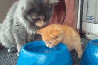 Cats, Drinking, and Fucking: trekkiee:  mcroosa:  Mommy teaching babby easier water drinking way because drinking water is hard experience u get it in your nose. Jesus how she puts her paw on his head in the second one. Such concern and love.  THIS IS THE CUTEST THING I HAVE EVER FUCKING SEEN FROM CATS EVER