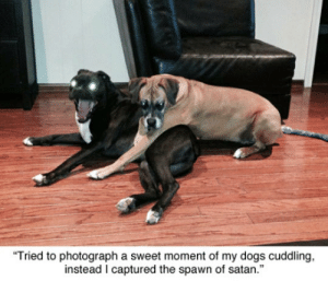 "srsfunny:Human, Give Us Your Soul: Tried to photograph a sweet moment of my dogs cuddling,  instead I captured the spawn of satan."" srsfunny:Human, Give Us Your Soul"