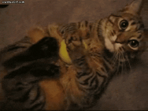 Cats, Cute, and Food: trilllizard666: cicadinae:  breelandwalker:  snkfan:  myallyistheforce:  Cats do this because its a hunting instinct to snap the neck of their prey. *the more you know*  It's a murderer instinct but holy shit it's so cute.  Fun Fact: The little shaking move they do when they pick up toys in their mouths is the one for snapping necks. This one's actually for disemboweling. And it's adorable.  The cutest murder machines ever.  House Cats: *do motions that are intended to kill, maim, and mutilate food, rivals, and predators* Humans, shoving their faces directly into what would kill a smaller animal: hahahaha aren't you adorable!   Just thought I should reblog this is so adorable