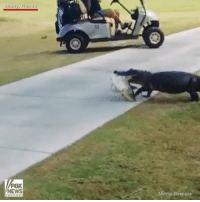 Whoa! A woman in Florida captured this crazy sight of a gator carrying a fish across a golf course. alligator: Trinity, Florida  FOX  NEWS  -Norma Respess Whoa! A woman in Florida captured this crazy sight of a gator carrying a fish across a golf course. alligator