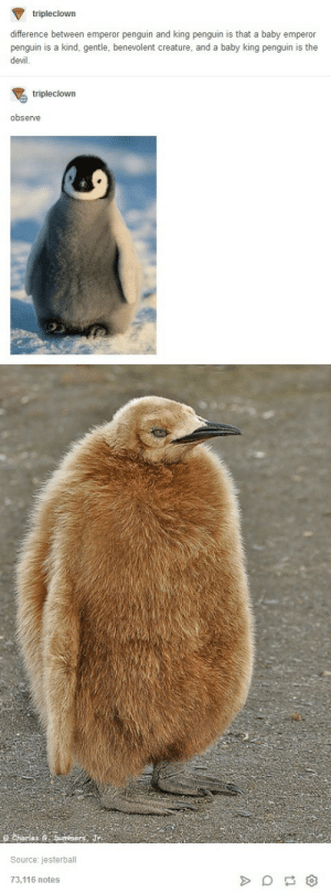 Devil, Penguin, and Penguins: tripleclown  difference between emperor penguin and king penguin is that a baby emperor  penguin is a kind, gentle, benevolent creature, and a baby king penguin is the  devil.  tripleclown  observe  Source: jesterball  73,116 notes Penguins