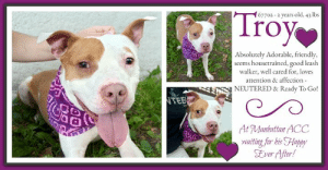 7/11, Animals, and Beautiful: Troy  67702-2 years old, 43 lbs  Absolutely Adorable, friendly,  seems housetrained, good leash  walker, well cared for, loves  attention & affection  E  NEUTERED & Ready To Go!  TEE  At Manhattan ACC  waiting for his Happy  Ever After! TO BE KILLED - JULY 20, 2019  NEUTERED AND READY TO GO HOME <3 A volunteer writes: Delightful Troy reminded me straight away of a delicious milky soft caramel, and he has the personality to match: sweet and good and impossible not to love. Troy is a 4 year old boy who seems to be house trained, is skilled at walking nicely on a leash, and appears interested in but not reactive to other dogs (or squirrels or birds) on the street or in the park. He was so happy to explore and sniff, as well as sit and relax on some steps, enjoying chest strokes and back scratches. Troy looks like he has been well cared for, his tan and white coat in nice shape. This little guy is handsome and strong, but also gentle. I could have easily spent the whole day in his company, just walking, lounging, enjoying the sunshine and the cool breezes, having a treat or two... ahh, summer in NYC is grand! Who wants to share their long beautiful days and sweet snuggly nights with this darling dog? He's waiting for his furever home at the Manhattan Care Center. Come and meet Troy today!  TROY@MANHATTAN ACC Hello, my name is Troy My animal id is #67702 I am a desexed male tan dog at the  Manhattan Animal Care Center The shelter thinks I am about 2 years old, 43 lbs Came into shelter as a stray 6/30/2019 Troy is rescue only  Troy is at risk for behavioral and medical reasons. Troy has a bite history and would benefit from placement with a new hope partner that can provide further evaluation on the behavior as well as provide behavior modification. Medically, Troy was diagnosed with canine infectious respiratory disease complex which is contagious to other animals and will require in home care.  My medical notes are... Weight: 43.7 lbs Vet Notes Medical Assistant 6/30/2019 DVM Intake Exam Estimated age: 4-5 years based on dental condition Microchip noted on Intake?NO History : Stray brought in by a good Samaritan Subjective: BAR H pink 1 sec Observed Behavior - Muzzled; growls Evidence of Cruelty seen - no Evidence of Trauma seen - no  Objective  sedated P = 50hr R = 30rr BCS 7/9  EENT: Eyes clear, ears clean, no nasal or ocular discharge noted Oral Exam: fractured upper k-9's PLN: No enlargements noted H/L: NSR, NMA, CRT < 2, Lungs clear, eupnic ABD: Non painful, no masses palpated U/G: MC MSI: pre sedation-Ambulatory x 4, skin free of parasites, no masses noted, healthy hair coat CNS: pre sedation --mentation appropriate - no signs of neurologic abnormalities  Assessment fractured upper K-9's  Prognosis: good Plan:  dexdorm.- 0.7ml IM butorphanol 0.7ml IM (about 1/2 was lost in the injection on the suface); reversed with antised- 0.4ml IM behavior assessment intake procedures will benefit from dental treatment with removal of fractured teeth  7/11/2019  SO  BAR in kennel. P is barking at kennel front   EN -- eyes are clear. P is sneezing, sniffling during rounds observation   A  CIRDC   P  doxycycline 100mg tablet -- give 2 tablets PO q24h x 14 days  enrofloxacin 204mg tablet -- give 1 tablet PO q24h x 14 days  cerenia 60mg tablet -- give 0.5 tablet PO q24h x 4 days  7/16/2019  SO  Recheck CIRDC day 6. Adding trazodone, per behavior   EN -- eyes and nose are clear, no discharge. P is coughing intermittently during rounds   A  CIRDC -- under tx   P  continue on current tx plan  trazodone 100mg tablet -- give 2 tablets PO q12h while in shelter  Details on my behavior are... Behavior History Behavior Assessment Troy was wearing a muzzle when intake started. Based on what finder said about him being friendly and that he's never attempted to bite, I asked her to take the muzzle off. Troy immediately wagged his tail and approached counselor and licked her hand and accepted pets on his head. After a couple minutes, counselor took photos pf Troy as he was sitting and he hard barked. Counselor then backed off and the muzzle was placed back on. Counselor approached at one point and Troy growled. Collar was put on by finder. A treat was offered and he sniffed it but he did not eat it.  Date of Intake: 6/30/2019  Spay/Neuter Status: Neutered  Previously lived with:: 2 adults, 1 child (almost 2 yrs old), 2 dogs (1 SMB & 1 LMB))  How is this dog around strangers?: Troy barks when new people come to the home and he backs off. Finder states this is usually because he is near her feet and is protective of her. If finder is not around, Troy is more comfortable interacting with new people  How is this dog around children?: Child in the home pulls his ears, his tail, climbs on him, etc and Troy is not bothered. He will take food gently from his hand.  How is this dog around other dogs?: With the SMB, Troy didn't pay him much mind. They tolerated each other. They did sleep in the same bed together.  The LMB in the home can be a little aggressive and Troy has noticed and purposely stays away. With another LMB that Troy met in the street, Troy licked his face.  How is this dog around cats?: Troy observed a cat in the street a couple of days ago. He was very alert and interested in watching the cat. he pulled on his leash to try to get closer and barked.  Resource guarding:: No resource guarding noted. Troy is comfortable having anyone in the home approach him while he's eating or having something taken from his mouth  Bite history:: Troy came in with a muzzle but finder states he has no bite history. What she has noted is that sometimes passing by people in the street, Troy will turn his head back quickly.  Housetrained:: Yes  Energy level/descriptors:: high  Other Notes:: Finder states that Troy gets hyper-alert and will cower if he is around many people at once or if he is near noisy traffic. He acts the same way if there is a loud storm or fireworks. Sometimes his body will go low and he'll scamper around like he's trying to get away.  Troy is house trained and gets walked twice a day. He does not have accidents in the home. He does not pull on his leash.  He is not destructive of items in the home. He barks only if the doorbell rings.  Troy was given a bath and he behaved well and allowed the bath to happen.  Has this dog ever had any medical issues?: Yes  Medical Notes: Was emaciated when finder found him  His teeth have been ground down. Cause unknown  For a New Family to Know: Troy is described as calm, laid back, and wants to be on top of finder at all times. He follows her around through the home. When he gets tired, he will lay in his bed. He goes to sleep in his own bed most of the time, but sometimes he goes to finder's bed.  Troy is not interested in any types of toys he's been offered  Troy knows the commands sit, lay down, drop it, paw, up (to jump up on person)  He is fed Purina dog chow dry food with wet food, but he will eat the dry food even without the wet. He loves beggin strips as treats.  Finder found Troy while he was off leash and he followed her home.  ======================  Date of intake:: 6/30/2019  Spay/Neuter status:: Yes  Means of surrender (length of time in previous home):: Stray (With finder for 2 months)  Previously lived with:: Adults, a child (age 2), a small dog, and a large dog  Behavior toward strangers:: Barks at them, then backs away  Behavior toward children:: Tolerant  Behavior toward dogs:: Friendly  Behavior toward cats:: Chases and barks at them outside  Resource guarding:: None reported  Bite history:: Yes, Troy has bitten two staff members at the care center. In the first instance, Troy was being walked and suddenly turned and bit the person walking him. He was pulled away and turned and lunged to bite again, but was kept away. This bite left punctures on the person's thigh. The second bite occurred when Troy was being walked past a staff member. He lunged and bit her leg. This bite did not break skin.  Housetrained:: Yes  Energy level/descriptors:: Troy is described as calm and laid back with a high level of activity.  Date of assessment:: 7/10/2019  Summary:: At the care center, Troy has bitten on two separate occasions. He first bit a staff member on the leg without any clear warning signs, while he was being walking on leash. This bite broke skin and drew blood. Second, he bit another staff member on the leg when she walked past him in the hallway. This bite did not break skin. Due to these bites without any clear warning signs, Troy is not a safe candidate for a handling assessment at this time.  Summary:: 7/1: When introduced off leash to the female greeter dog, Troy is a bit tense and wary of approach. He backs away from any approach by the greeter dog.  Date of intake:: 6/30/2019  Summary:: Loose body at first, then hard barked and growled  Date of initial:: 6/30/2019  Summary:: Growled  ENERGY LEVEL:: Troy is described as having a high level of energy. He will need daily mental and physical activity to keep him engaged and exercised. We recommend long-lasting chews, food puzzles, and hide-and-seek games, in additional to physical exercise, to positively direct his energy and enthusiasm. We recommend feeding with puzzle feeders and food-dispensing toys. And we recommend only force-free, reward-based training techniques for Troy.  BEHAVIOR DETERMINATION:: New Hope Only  Behavior Asilomar: TM - Treatable-Manageable  Recommendations:: No children (under 13),Place with a New Hope partner  Recommendations comments:: No children: Due to Troy's multiple bite history, we recommend an adult-only home for Troy.  Place with a New Hope partner: Due to Troy's multiple bite history at the care center, where he has broken skin and drawn blood once, the behavior department recommends Troy be placed with a New Hope placement partner who is able to provide an experienced adult-only foster home. Since Troy has bitten on two occasions, this behavior will require careful environmental management and likely significant lifestyle adaptations to prevent injury to his future humans and to increase Troy's quality of life. We highly recommend consultation with a veterinary behaviorist and/or highly qualified behavior modification trainer.  Potential challenges: : Fearful/potential for defensive aggression,Multiple-bite history/risk of future aggression,Bite history (human)  Potential challenges comments:: Multiple-bite history/risk of future aggression: Troy has bitten people at the care center on two occasions. He first bit a staff member on the leg without any clear warning signs, while he was being walking on leash. This bite broke skin and drew blood. Second, he bit another staff member on the leg when she walked past him in the hallway. This bite did not break skin. Please see handout on Multiple-bite history/risk of future aggression.  Fearful/potential for defensive aggression: The previous owners report that Troy barks at strangers and backs away from them. This shows that Troy is fearful around strangers in the home and may display defensive aggression. Please see handout on Fearful/potential for defensive aggression.  TROY IS RESCUE ONLY…..TO SAVE THIS PUP YOU MUST FILL OUT APPLICATIONS WITH AT LEAST 3 NEW HOPE RESCUES. PLEASE HURRY!!!   IF YOU CAN FOSTER OR ADOPT THIS PUP, PLEASE PM OUR PAGE FOR ASSISTANCE. WE CAN PROVIDE YOU WITH LINKS TO APPLICATIONS WITH NEW HOPE RESCUES WHO ARE CURRENTLY PULLING FROM THE NYC ACC.  PLEASE SHARE THIS DOG FOR A HOME TO SAVE HIS LIFE.