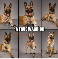 Memes, 🤖, and Usa: TRUE WARRIOR Meet Layka. Despite getting shot 4 times by an AK-47 at point blank range she still attacked and subdued the insurgent who was attacking her handler. She survived a 7 hour surgery and was awarded a medal for her heroism. veteranscomefirst veterans_us Veterans Usveterans veteransUSA SupportVeterans Politics USA America Patriots Gratitude HonorVets thankvets supportourtroops semperfi USMC USCG USAF Navy Army military godblessourmilitary soldier holdthegovernmentaccountable RememberEveryoneDeployed Usflag StarsandStripes