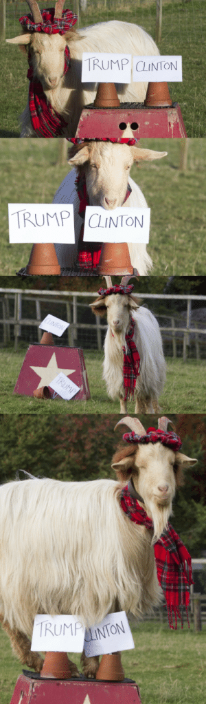 babygoatsandfriends:  kakoiartist101:  babygoatsandfriends:    Boots the psychic goat, who lives on a farm near Jedburgh, Roxburghshire, correctly foresaw the result of the Brexit vote in June. And the goat has now predicted that Hillary Clinton will finish ahead of Donald Trump in the US presidential race. Read more at: http://www.scotsman.com/news/video-psychic-scottish-goat-predicts-next-us-president-1-4280162    the goat has spoken  i pray to you, boots : TRUMP CLINTON   TRUMP CLINTON   CLINTON  TRUMP   TRUMP  LINTON babygoatsandfriends:  kakoiartist101:  babygoatsandfriends:    Boots the psychic goat, who lives on a farm near Jedburgh, Roxburghshire, correctly foresaw the result of the Brexit vote in June. And the goat has now predicted that Hillary Clinton will finish ahead of Donald Trump in the US presidential race. Read more at: http://www.scotsman.com/news/video-psychic-scottish-goat-predicts-next-us-president-1-4280162    the goat has spoken  i pray to you, boots