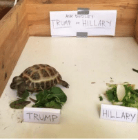 Trump, Dank Memes, and Asking: TRUMP on HILLARY  (HILLAEy  TRUMP Ask Dudley the Tortoise: TRUMP OR HILLARY #tortoisecamlive