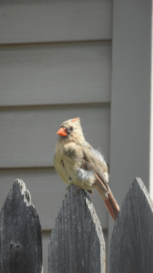Birds, Cardinals, and One: Trying to attract Cardinals and Humming Birds. One down, one to go.