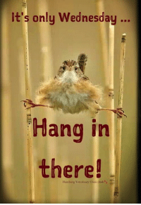 It's only Wednesday, Hang In There            #bird: t's only Wednesday..  ednesdau...  Hang in  there!  Hamburg Veterinary Clinie Jmb It's only Wednesday, Hang In There            #bird
