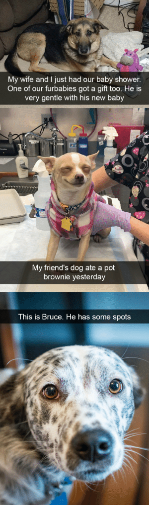 Friends, Shower, and Target: tueta  My wife and I just had our baby shower.  One of our furbabies got a gift too. He is  very gentle with his new baby   TCS  My friend's dog ate a pot  brownie yesterday   This is Bruce. He has some  spots more dog snapsvia @animalsnaps