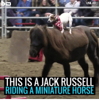 Horses, Memes, and Horse: TUNLAD  TV  BARC  THIS IS A JACK RUSSELL  RIDING A MINIATURE HORSE