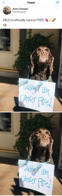 THIS MAKES ME SO HAPPY 😭😭 https://t.co/5t1Sr81lqg: Tweet  Avery Kaspari  @avekaspari  MILO is officially cancer FREE   ada  ain  Cane THIS MAKES ME SO HAPPY 😭😭 https://t.co/5t1Sr81lqg