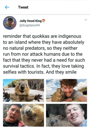 If there's heaven on Earth, it is this, it is this, it is this.: Tweet  Jolly Hood King  @llcapitano94  reminder that quokkas are indigenous  to an island where they have absolutely  no natural predators, so they neither  run from nor attack humans due to the  fact that they never had a need for such  survival tactics. In fact, they love taking  selfies with tourists. And they smile If there's heaven on Earth, it is this, it is this, it is this.