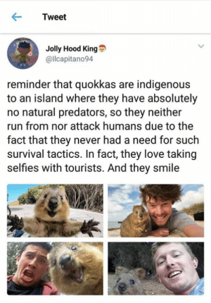 from twitter.com/ilcapitano94: Tweet  Jolly Hood King  @llcapitano94  reminder that quokkas are indigenous  to an island where they have absolutely  no natural predators, so they neither  run from nor attack humans due to the  fact that they never had a need for such  survival tactics. In fact, they love taking  selfies with tourists. And they smile from twitter.com/ilcapitano94