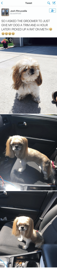I CANT STOP LAUGHING 😂 https://t.co/OOWoWl7EYo: Tweet  Josh Pitruzzella  p @Josh Pit40  SOIASKED THE GROOMER TO JUST  GIVE MY DOG A TRIM AND A HOUR  LATER PICKED UP A RAT ON METH I CANT STOP LAUGHING 😂 https://t.co/OOWoWl7EYo