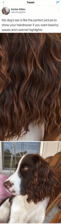 Dogs, Love, and Waves: Tweet  Kerbie Gibbs  @kerbiegibbs  My dog's ear is like the perfect picture to  show your hairdresser if you want beachy  waves and caramel highlights <p>I LOVE THIS<br/></p>