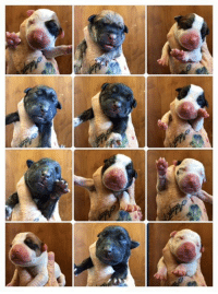 Batman, Love, and Memes: TWELVE NEWBORN PUPPIES!!! Holy buckets BAtman. What a day. Six born regular(well kinda) and then mama was in distress so she had an emergency c-section. Slinging distressed puppies was stressful for the vet staff and the grunts, Mama and Robin. It started with two puppies found in a driveway and yard still attached to their sacks and taken to the local shelter. Then the shelter staff reached out to us because we are rescue partners for their tricky cases like this. Once we realized there may be a mama or more newbie pups plopped out on the ground the grunts went and checked out the neighborhood. The grunts found a very stuffed and stray mama living under a trailer. The grunts went to the vet to get an xray and mama checked out, they counted maybe TEN more pups so our vet kept them to help and watch her delivery. Mama lost a ton of blood and got lots of fluids and meds. The good thing is she tested negative for parvo and Heartworms!!! We are hopeful she will settle and nurse her pups but if not, jokes on my mama for bottle feeding all twelve.   Love, MacOMDSoMany