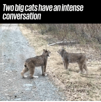Cats, Dank, and What Is: Two big cats have anintense  conversation What is going on here!? 😂😂  (Tap 🔊)