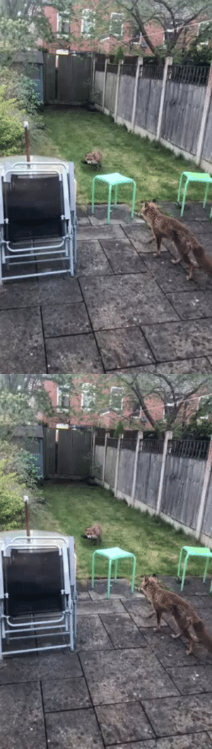 Two foxes have decided to take advantage of the UK lockdown and use my friends garden to raise their cubs. (Source): Two foxes have decided to take advantage of the UK lockdown and use my friends garden to raise their cubs. (Source)