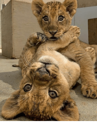 Two lion cubs playing: Two lion cubs playing