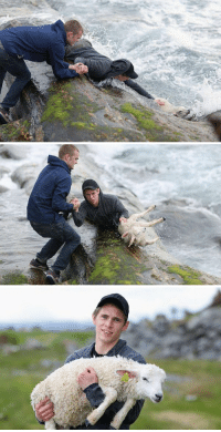 Memes, Norwegian, and 🤖: Two Norwegian Guys Rescuing A Baby Lamb Drowning In The Ocean